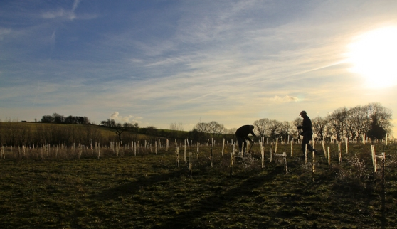 Planting young trees