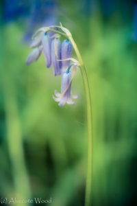 Single bluebell