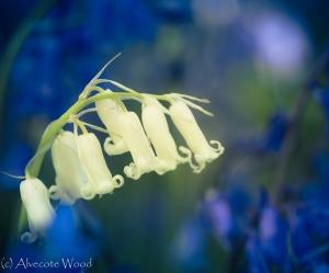 White bluebell among blue