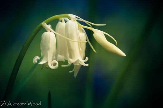 Photo Number 6:  Rare white English bluebell