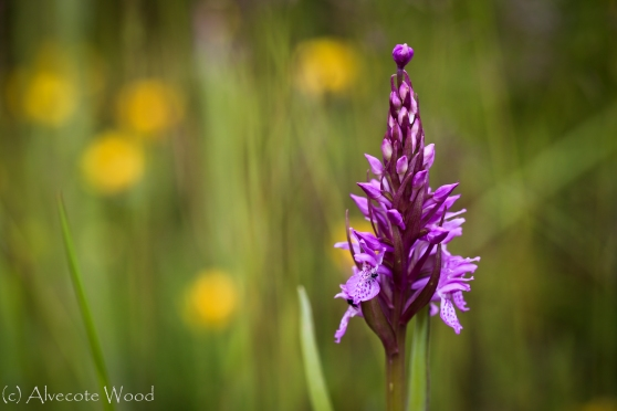 Photo Number 5:  Southern Marsh Orchid