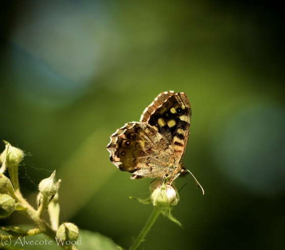 Speckled Wood on Bramble