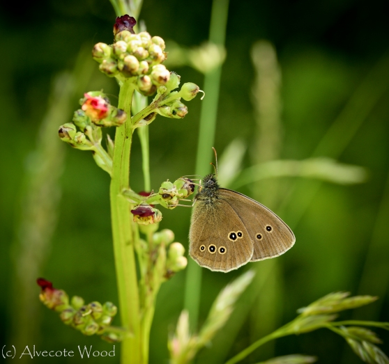 Ringlet butterfly on figwort
