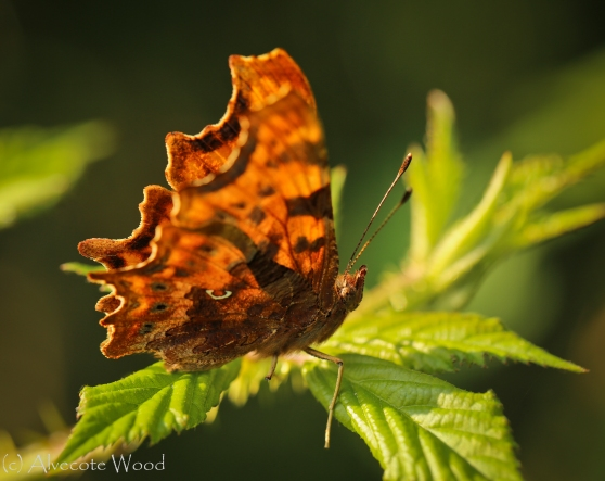 Comma butterfly on bramble