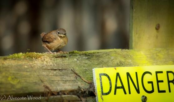 Danger!  Baby Wren!