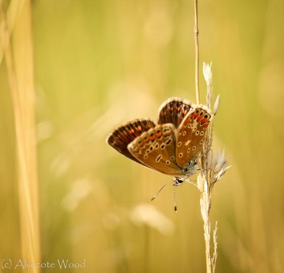 Brown Argus