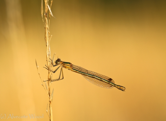 Photo Number 2:  Emerald Damselfly