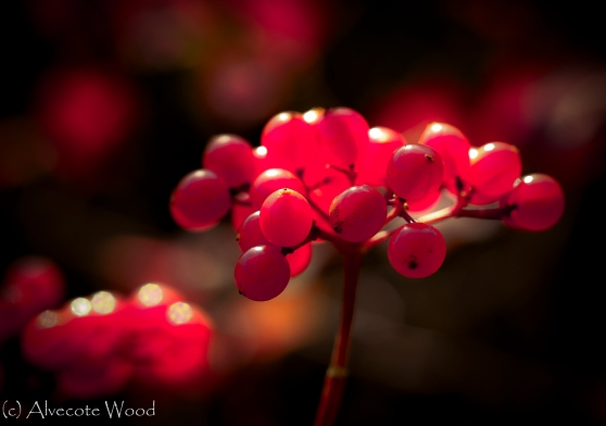 Guellder rose berries and leaves
