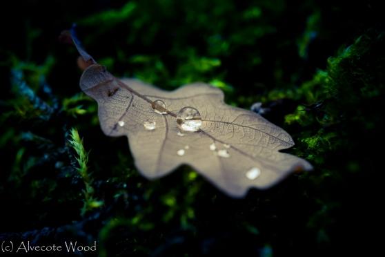 Raindrops on oak leaves