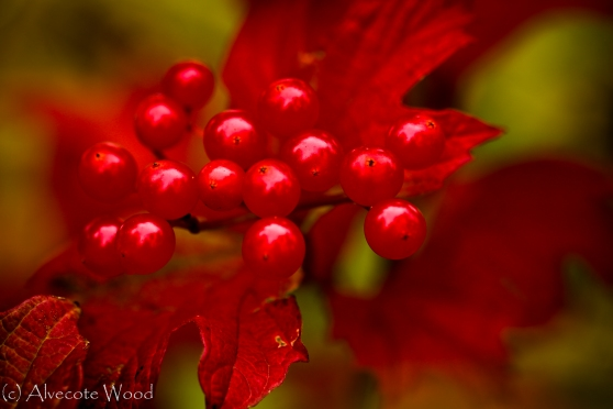 Guelder rose leaves and berries