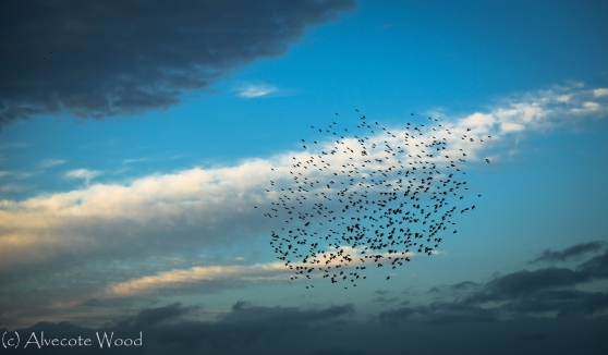 The murmuration starts to form..