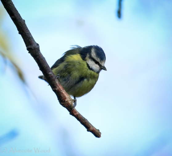 Blue tit fluffed up in the wind and cold