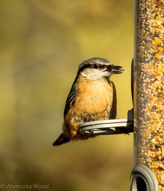 Nuthatch at feeder