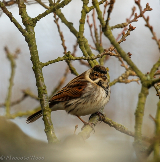 Male reed bunting almost obscured by the top of the feeder