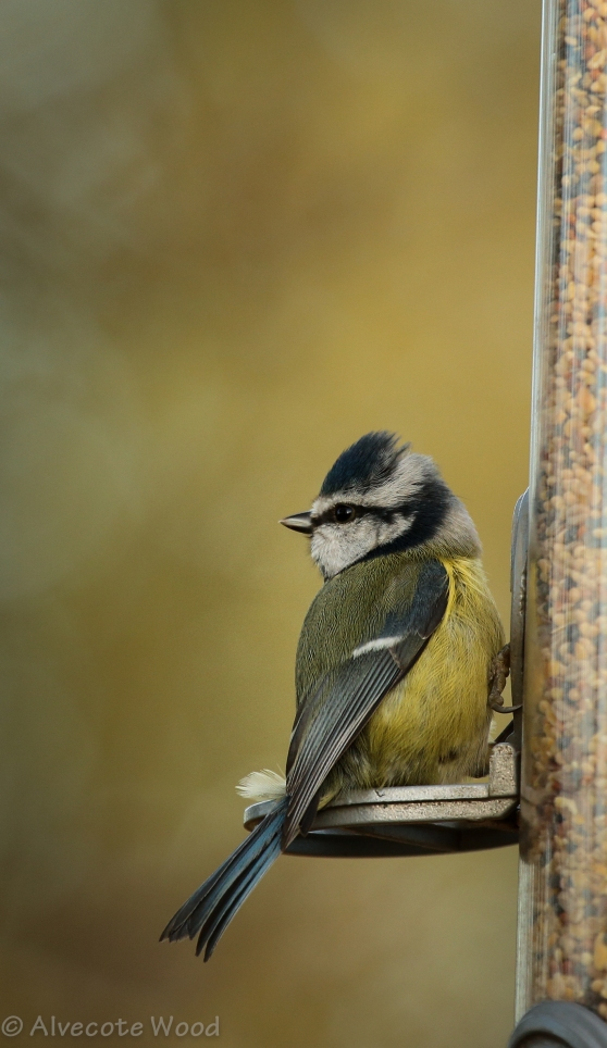 Blue tit at feeder
