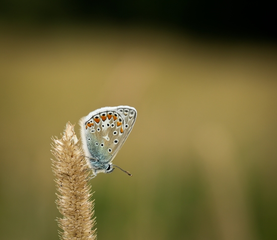 Common Blue in Meadow