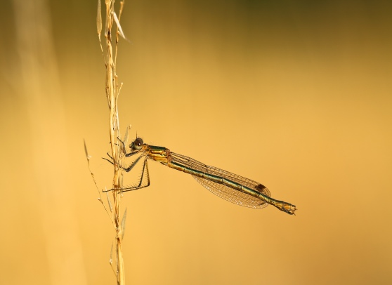Emerald Damselfly at Sunset