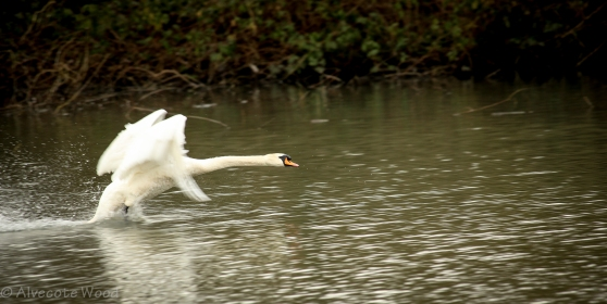 Mute swan failed take off