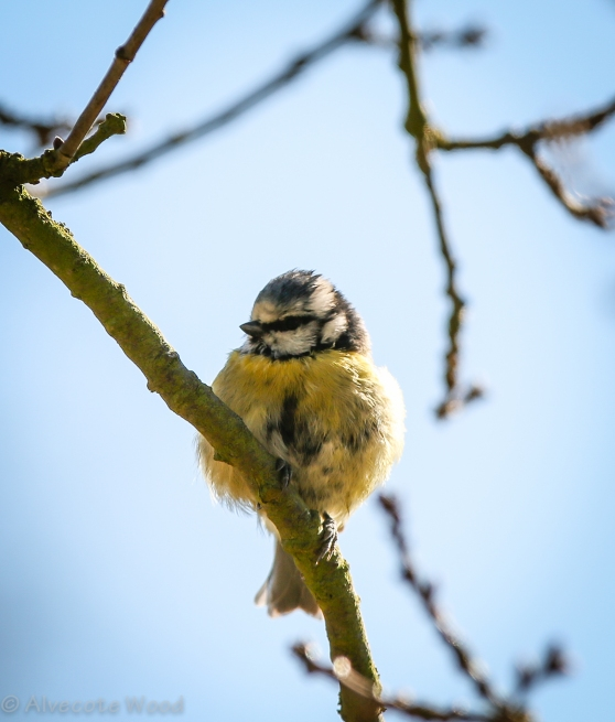Scruffy Blue Tit