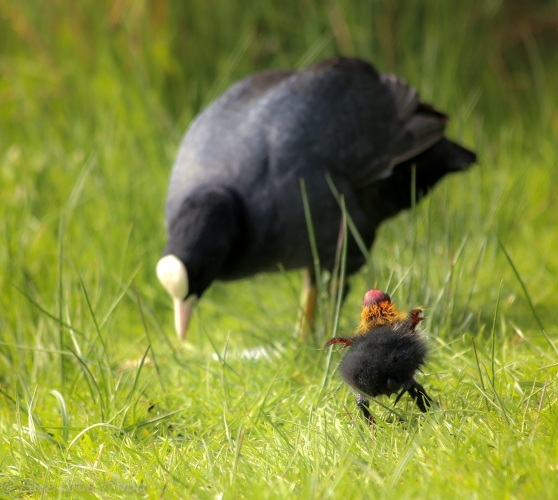 Tiny coot chick chasing after parent