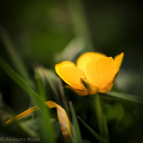 The First Buttercup