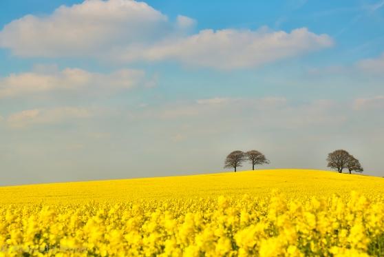 Acid Yellow Fields