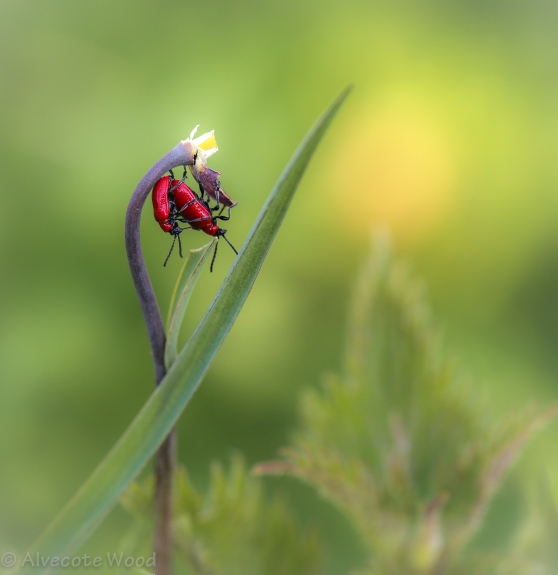 Love in the Grass - lily beetles on snakes head fritillary