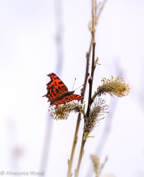 Comma on Willow