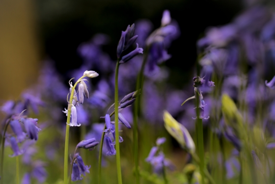 Down among the bluebells
