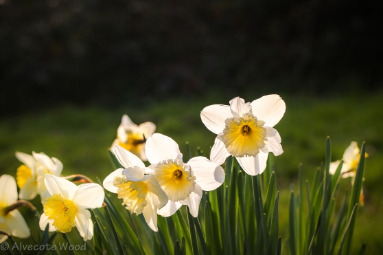 Daffodils all in a row