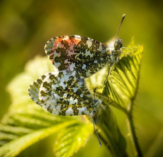 Mating pair of orange tip butterflies