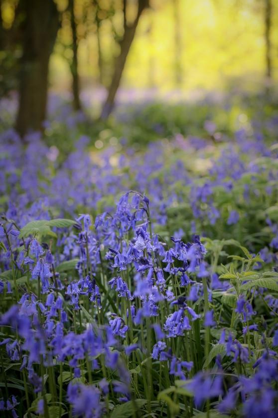 Evening bluebells