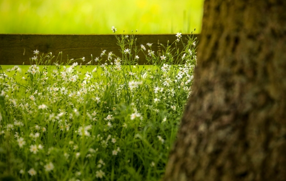 Patch of stitchwort