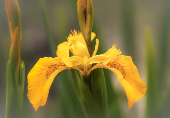 Yellow flag-iris