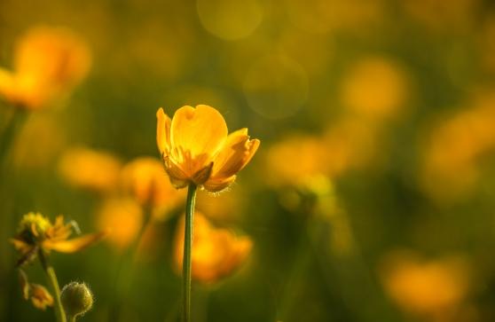 Evening Buttercup