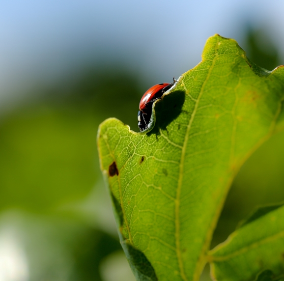 Ladybird peeking over the edge of a leaf