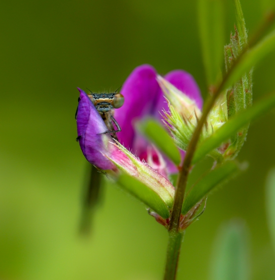 Damselfly on vetch