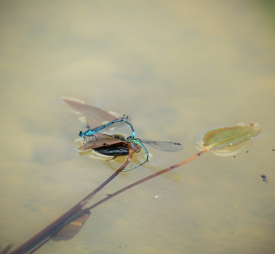 Damselflies ovipositing