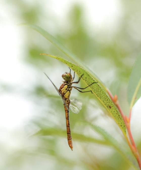Common darter shelters from the rain