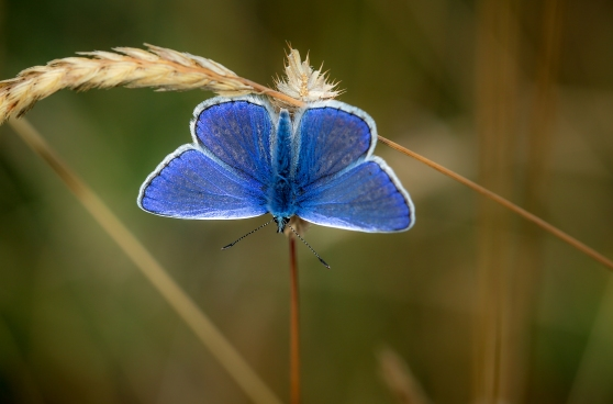 Male common blue showing iridescence