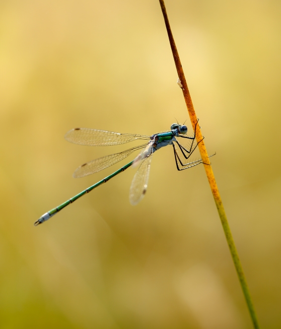 Emerald Damselfly