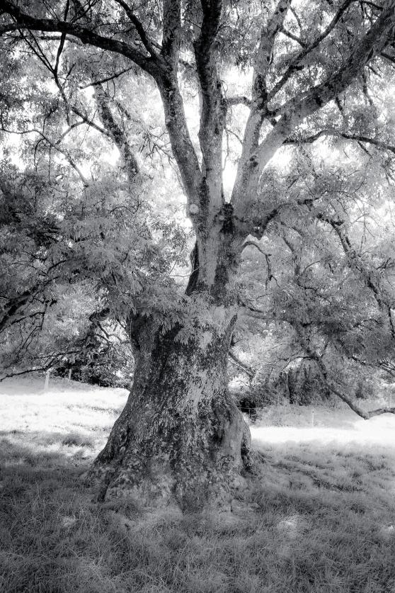Ancient ash pollard in field