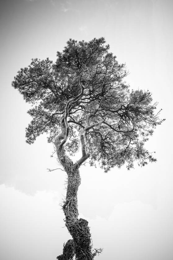 Ridgeway pines