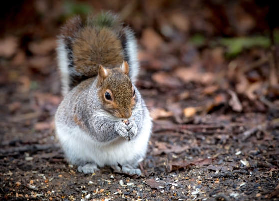 Chubby Little Squirrel