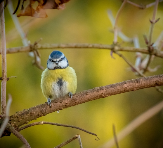 Chubby Little Blue-Tit