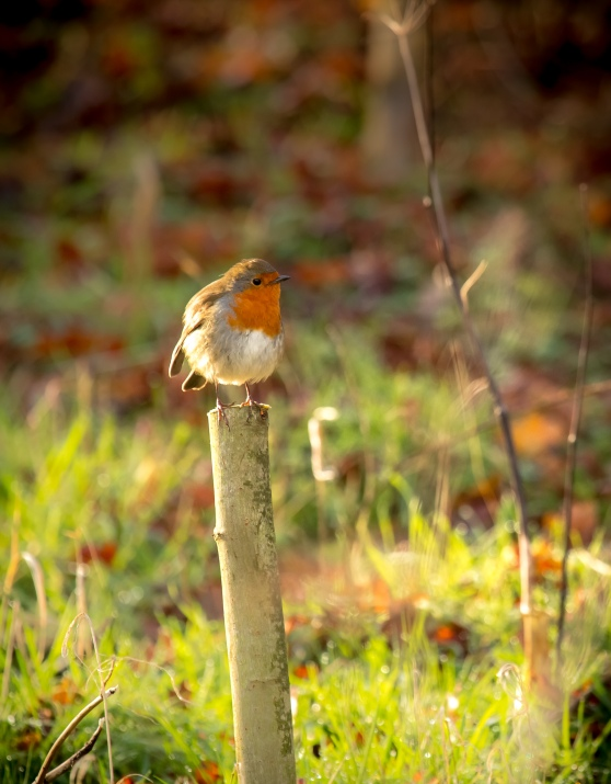 Robin on a Stick