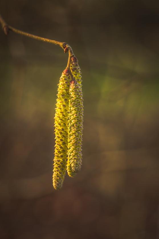 Golden Tassels - Hazel Catkins