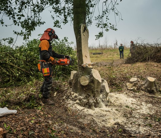 Felling the large holly