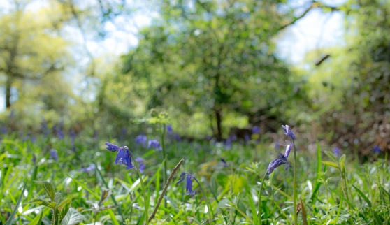 Bluebells on Woodland Floor