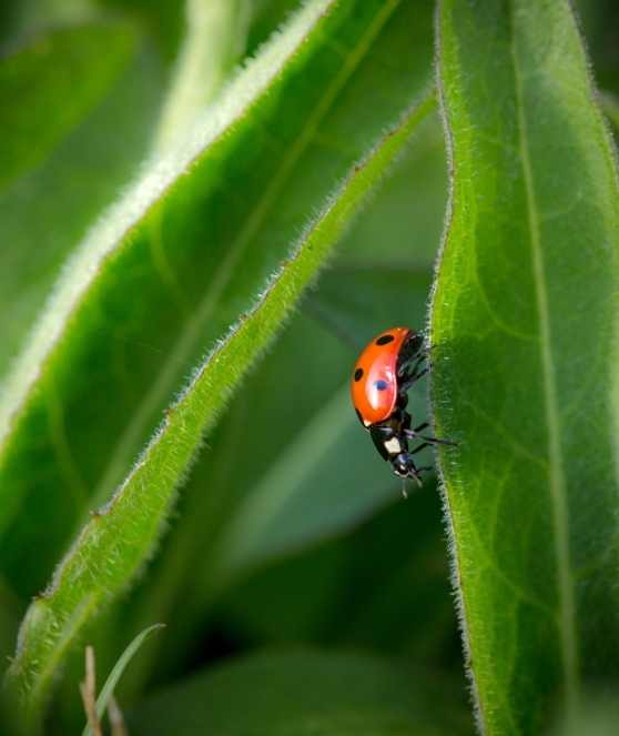 Ladybird on the edge of a leaf